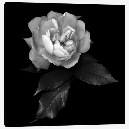 White Rose VI, B&W Canvas Print #MAG186} by Magda Indigo Canvas Artwork