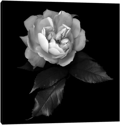 White Rose VI, B&W Canvas Art Print