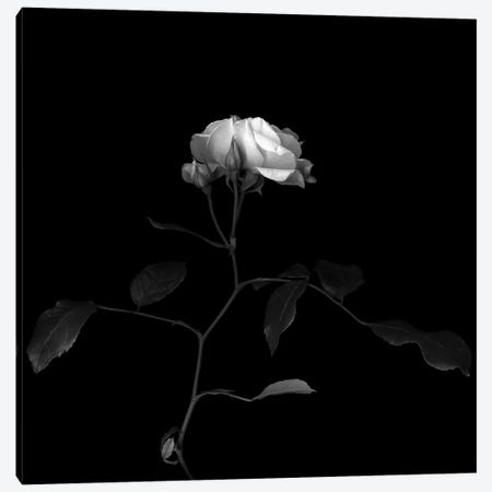 White Rose VIII, B&W Canvas Print #MAG187} by Magda Indigo Canvas Art