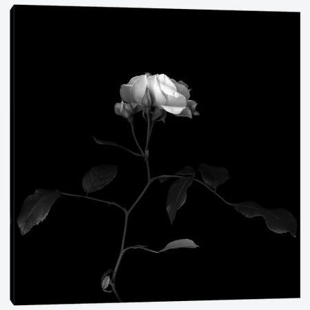 White Rose VIII, B&W Canvas Print #MAG187} by Magda Indigo Canvas Art