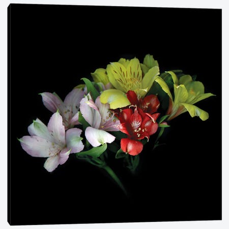 Alstroemeria Mix III Canvas Print #MAG190} by Magda Indigo Canvas Art