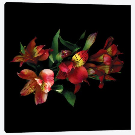 Alstroemeria Red III Canvas Print #MAG191} by Magda Indigo Canvas Art