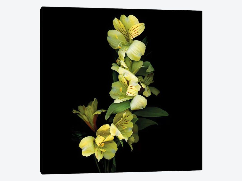 Alstroemeria Yellow IX by Magda Indigo 1-piece Canvas Artwork