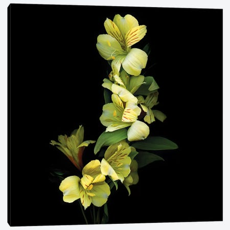 Alstroemeria Yellow IX Canvas Print #MAG192} by Magda Indigo Canvas Wall Art