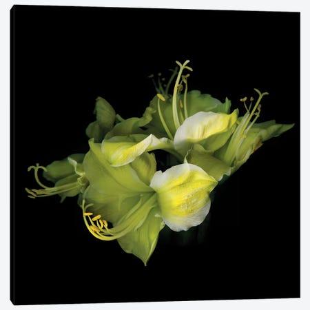 Ama Yellow I Canvas Print #MAG194} by Magda Indigo Canvas Print