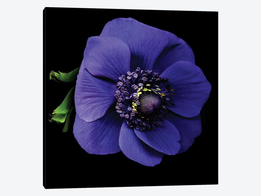 Anemone I by Magda Indigo 1-piece Canvas Print