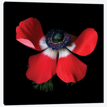 Anemone Red IV Canvas Print #MAG198} by Magda Indigo Canvas Art