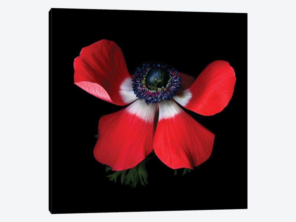 Anemone Red IV by Magda Indigo 1-piece Canvas Art