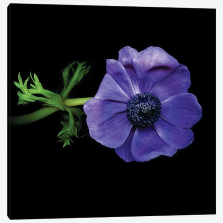 Anemones X Canvas Print #MAG199} by Magda Indigo Canvas Artwork