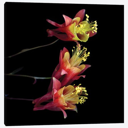Aquilegia X Canvas Print #MAG201} by Magda Indigo Canvas Art