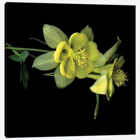 Aquilegia XIV Canvas Print #MAG202} by Magda Indigo Canvas Wall Art