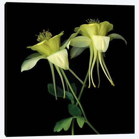 Aquilegia XV Canvas Print #MAG203} by Magda Indigo Canvas Artwork