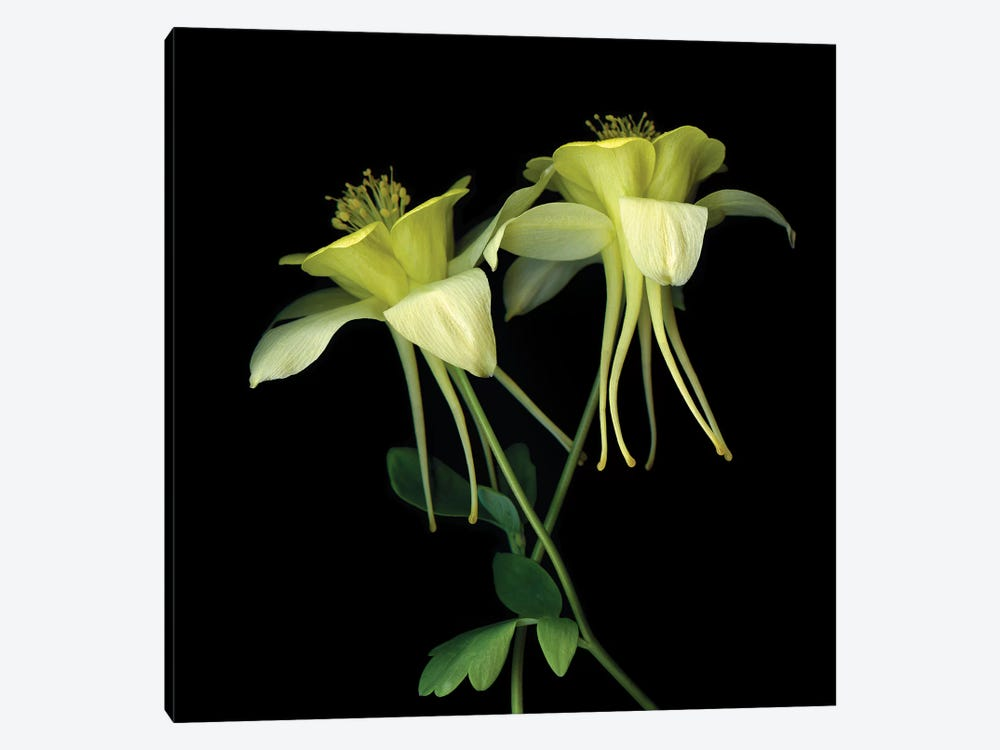Aquilegia XV by Magda Indigo 1-piece Canvas Wall Art