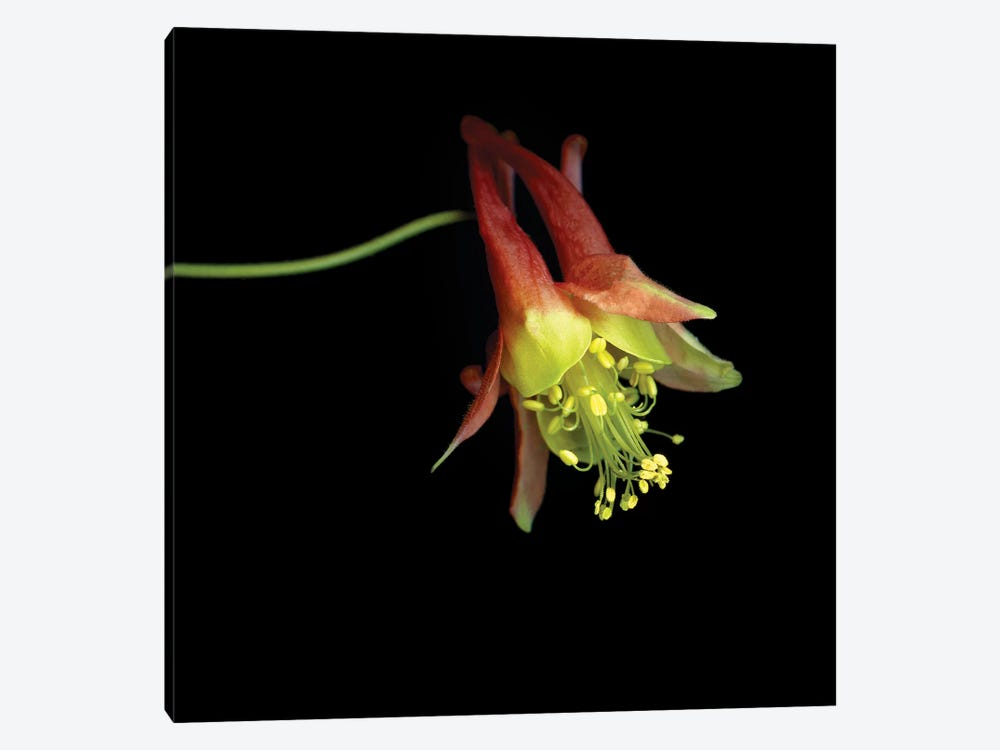 Aquilegia XXVI by Magda Indigo 1-piece Canvas Art