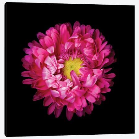 Aster Pink I Canvas Print #MAG208} by Magda Indigo Canvas Artwork
