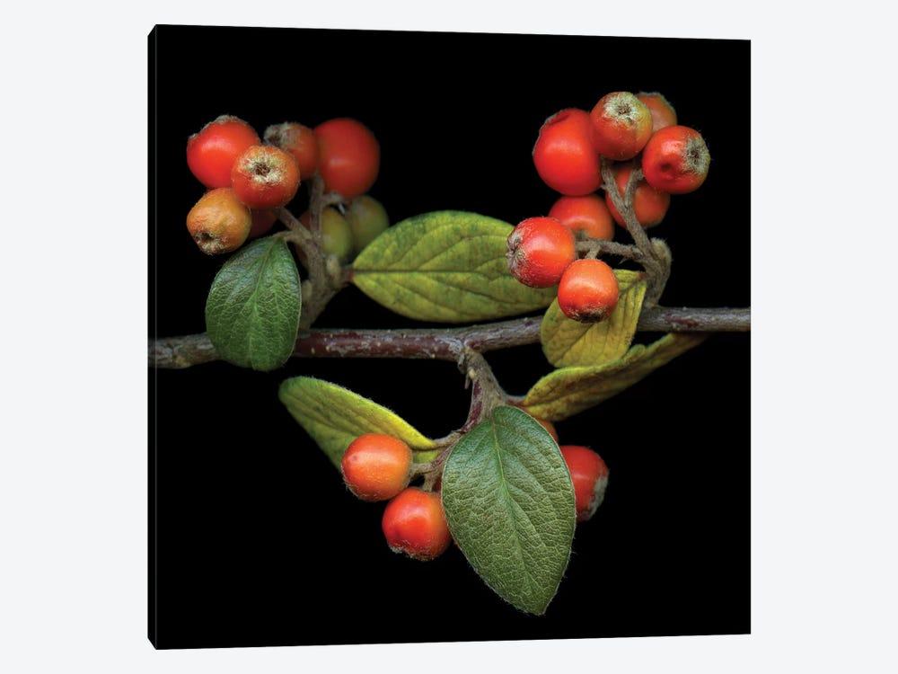 Berries XIV by Magda Indigo 1-piece Canvas Art