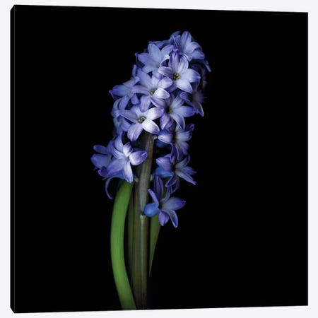 Blue Hyacinth I Canvas Print #MAG211} by Magda Indigo Canvas Print