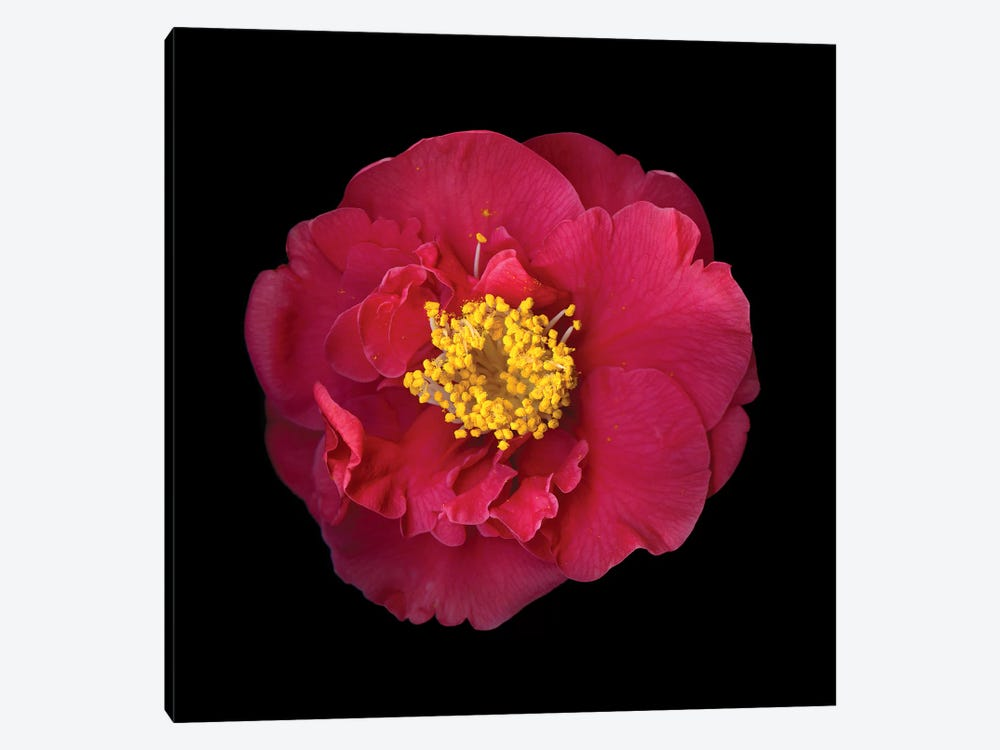 Camelia I 1-piece Canvas Artwork