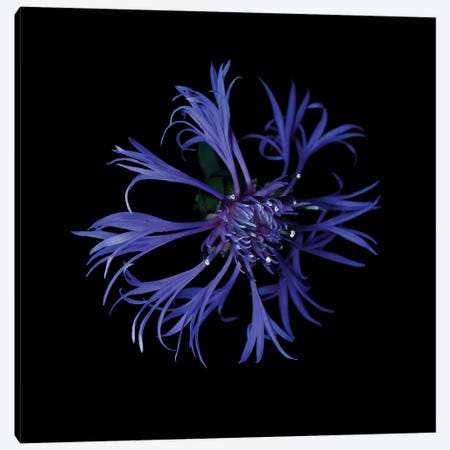 Centaurea X Canvas Print #MAG213} by Magda Indigo Canvas Art Print