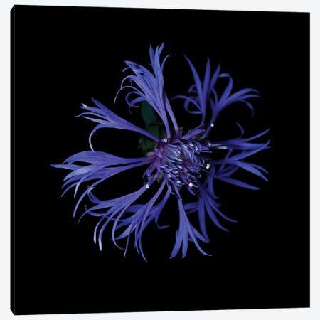 Centaurea X Canvas Print #MAG213} by Magda Indigo Canvas Art Print