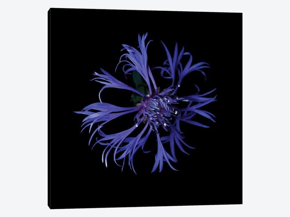 Centaurea X by Magda Indigo 1-piece Canvas Art Print