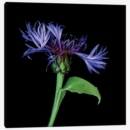 Centaurea IV Canvas Print #MAG214} by Magda Indigo Canvas Artwork