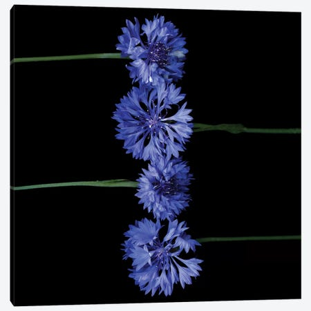 Cornflower XIII Canvas Print #MAG215} by Magda Indigo Canvas Wall Art