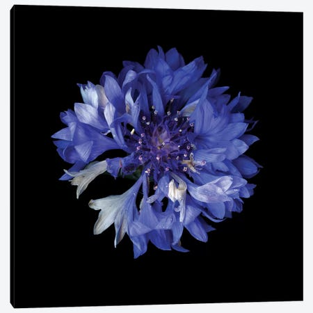 Cornflower XVI Canvas Print #MAG216} by Magda Indigo Canvas Wall Art