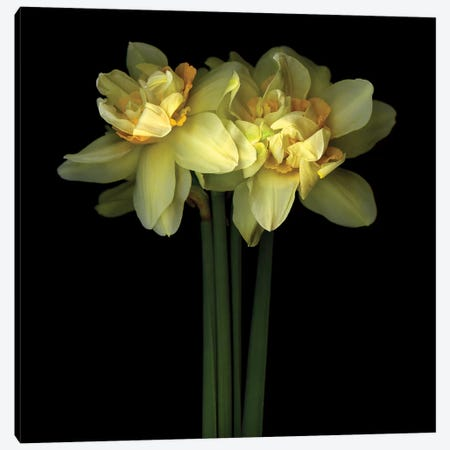Daffodil Double IX Canvas Print #MAG217} by Magda Indigo Canvas Wall Art