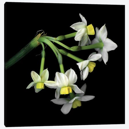 Daffodil Small XI Canvas Print #MAG218} by Magda Indigo Art Print