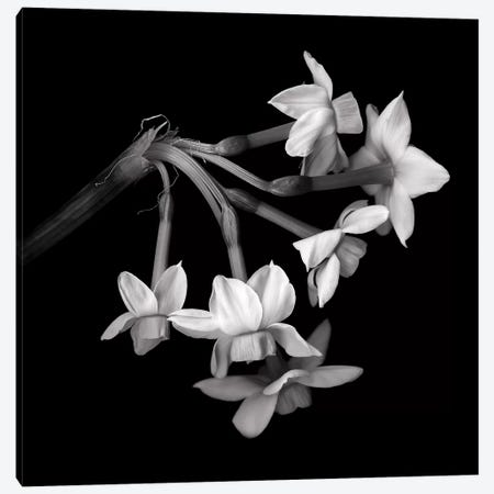 Daffodil Small XI In Black And White 3-Piece Canvas #MAG219} by Magda Indigo Canvas Print