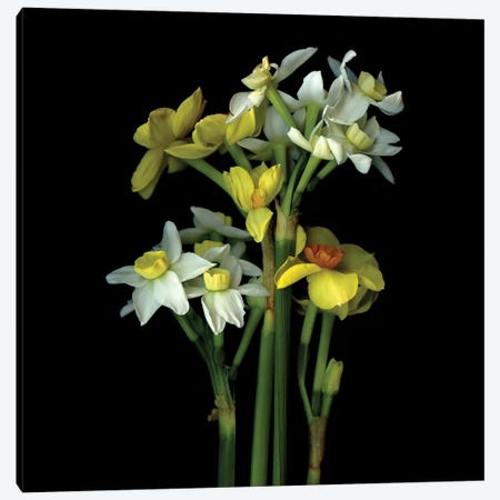 Daffodil Small VI Canvas Print #MAG220} by Magda Indigo Canvas Artwork