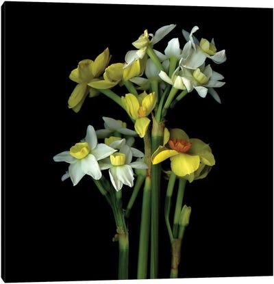 Daffodil Small VI Canvas Art Print