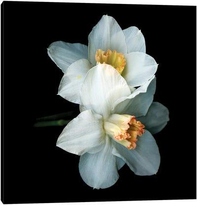 Daffodil Special V Canvas Art Print