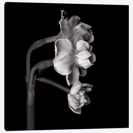 Daffodil White II In Black And White 3-Piece Canvas #MAG224} by Magda Indigo Canvas Art Print