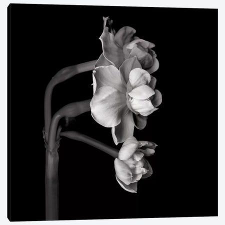 Daffodil White II In Black And White Canvas Print #MAG224} by Magda Indigo Canvas Art Print
