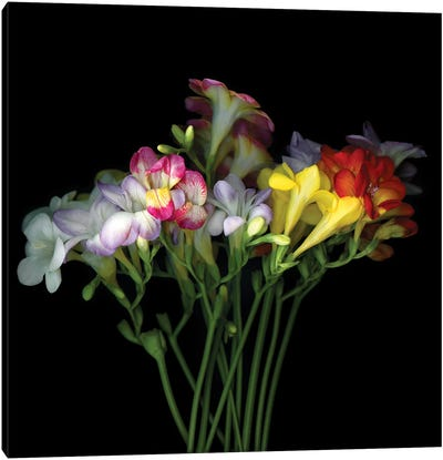 Freesia VII Canvas Art Print