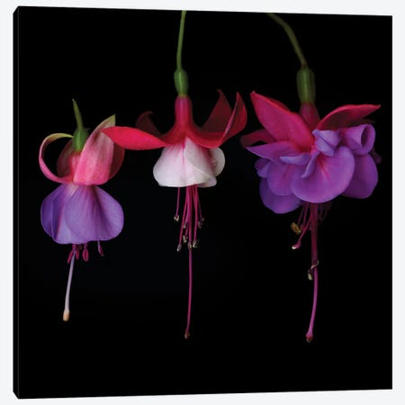 Fuchsia XII Canvas Print #MAG235} by Magda Indigo Canvas Wall Art