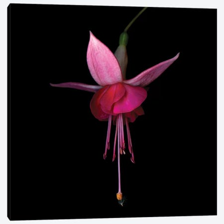 Fuchsia III Canvas Print #MAG237} by Magda Indigo Canvas Art