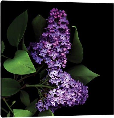 Deep Purple Canvas Print #MAG23