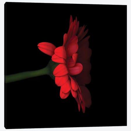 Gerbera Red V Canvas Print #MAG242} by Magda Indigo Canvas Art
