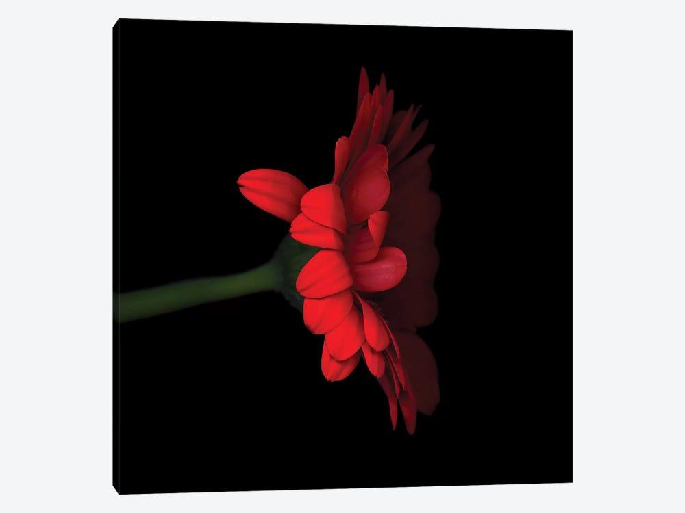 Gerbera Red V by Magda Indigo 1-piece Canvas Art Print
