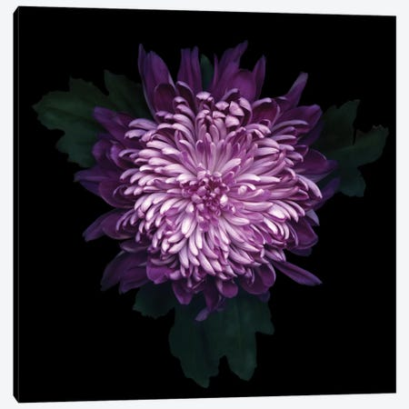 Delicious Chrysanthemum Canvas Print #MAG24} by Magda Indigo Canvas Art Print