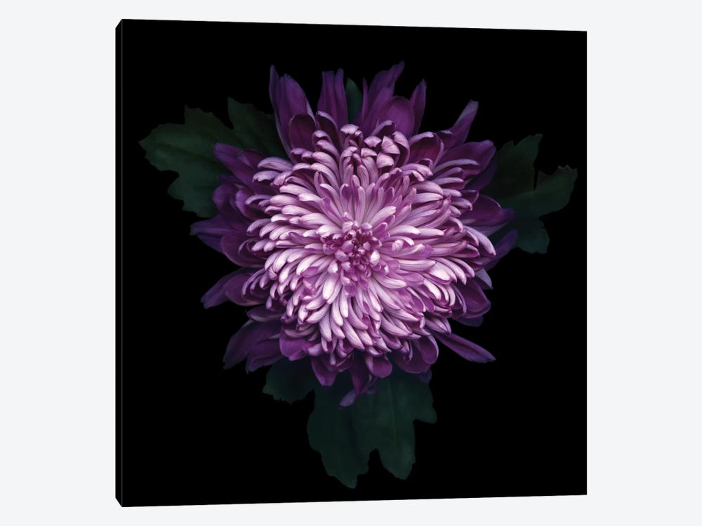 Delicious Chrysanthemum by Magda Indigo 1-piece Canvas Wall Art