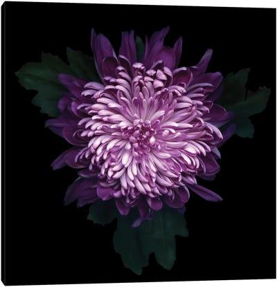 Delicious Chrysanthemum Canvas Art Print