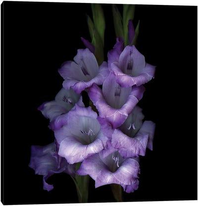 Gladiolus Purple III Canvas Art Print