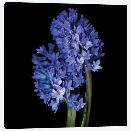Hyacinth Blue VI Canvas Print #MAG256} by Magda Indigo Canvas Artwork