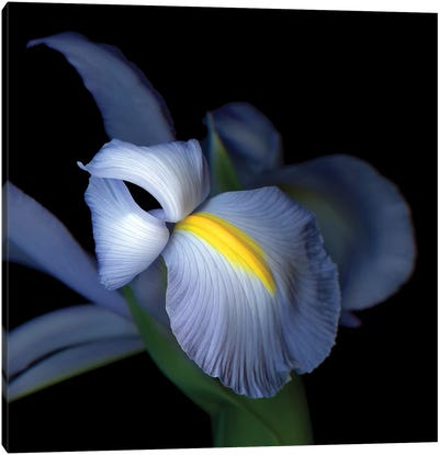 Iris Pale IV Canvas Art Print