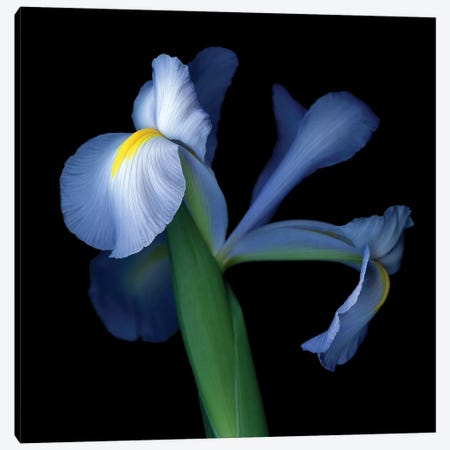 Iris Pale V Canvas Print #MAG259} by Magda Indigo Canvas Art Print