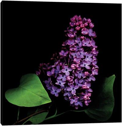 Lilac II Canvas Art Print